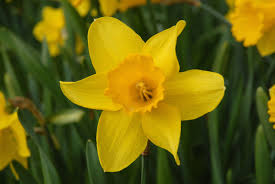daffodil image for st davids day in wales